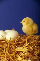 Cómo polluelos nacen en el hogar