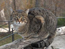 Medicamentos para la artritis para gatos