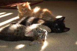 Remedio casero para los gatitos con los resfriados