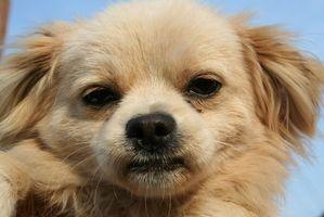 Cómo tratar una erupción alrededor de los ojos del perro