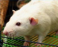 Cómo quitar el olor a orina de las ratas