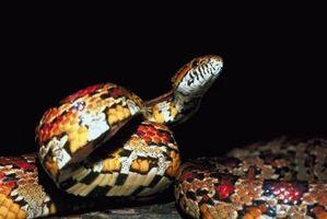 Diferencia de una serpiente de maíz entre un hombre y de mujer