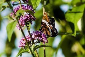 ¿Cómo se ajusta la mariposa en la cadena alimenticia?