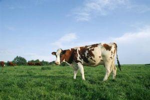 La diferencia entre los lácteos y la carne de vaca del ganado