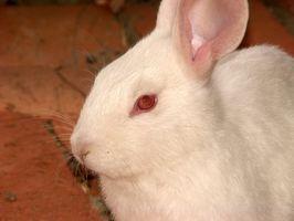 Ojos hinchados en un conejo