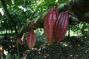 Cómo extraer la manteca de cacao