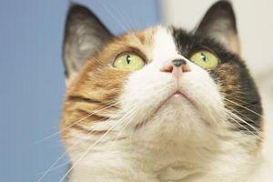 Cómo dar medicina a un gato por vía oral