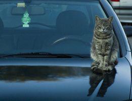 ¿Por qué los gatos spray Después de la castración?