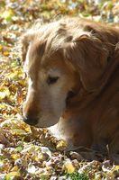 Canino Problemas Tick