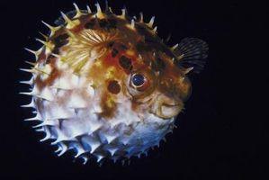 ¿Cómo se inflamara un pez globo
