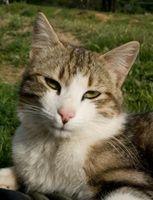 ¿Qué ocurre cuando los gatos comen las pulgas?