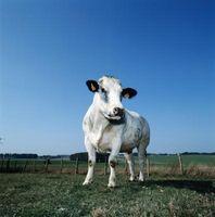 Cómo matar a una vaca y carnicero Se