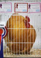 ¿Cómo se puede saber el sexo de los pollos de color de ante de Orpington?