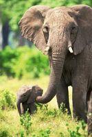 Los hábitats de las jirafas, leones y elefantes