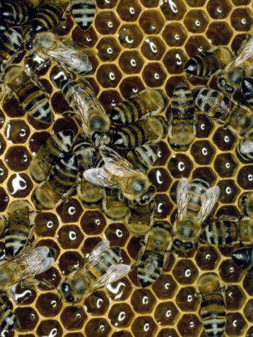 ¿Qué causa la miel para fermentar?