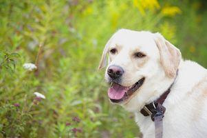 Labrador con la enfermedad de la sarna