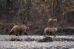 Los piojos oso