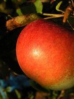 Cómo extraer del higo chumbo y zumo de manzana