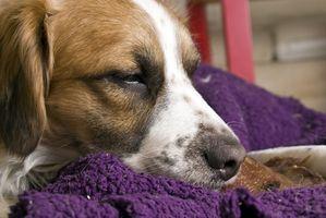 Cómo ayudar a un perro dormir Restless