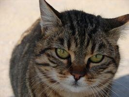 El mareo en los gatos diabéticos