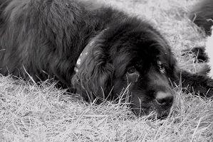 Los síntomas de la gripe del perro