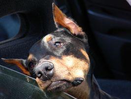 Los medicamentos para perros enfermos de coches