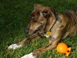 Cómo adoptar un perro en el Norte del Condado de San Diego, CA