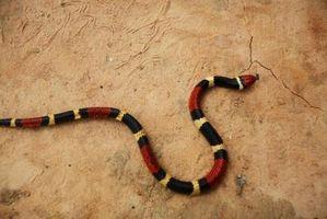 ¿Qué comen las serpientes coral?
