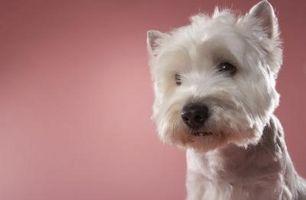 Cuáles son las características de los perros de Westie?