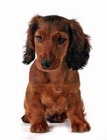 Problemas de los ojos del perro de los Dachshunds