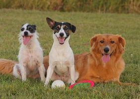 El cáncer intestinal en los perros