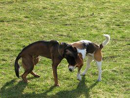 Cómo utilizar K9 Advantix en Dos perros