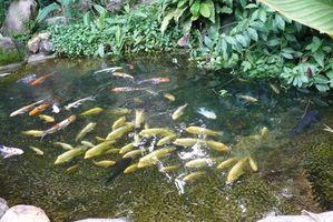 Vejiga natatoria curación de la enfermedad para peces en estanques