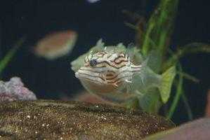 Cómo cuidar de un pez globo manchado