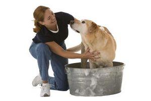 Los buenos champús para un perro con la piel con picor y Alergias
