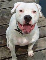 Acerca de American Bull Terrier