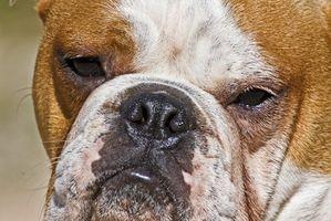 El tumor cerebral en un perro