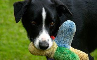 Sobre el tratamiento de un perro con una infección urinaria recurrente