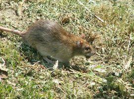 ¿Qué es el control de ratas Biológica?