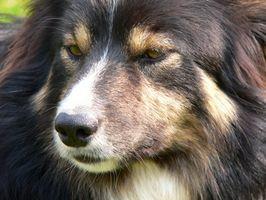 Cáncer del sistema linfático canina