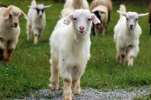 Cómo hacer un alimentador de mineral para las cabras Fuera de tubería de PVC