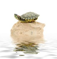 ¿Qué tipo de tortugas se mantienen pequeñas?
