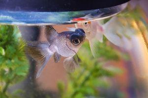 Cómo quitar las algas de los tanques de agua dulce