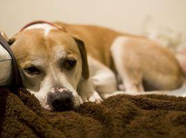 Vitaminas para olores de la piel en los perros
