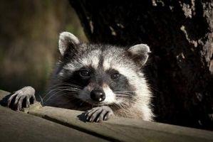 Cómo proteger a los gatos de los mapaches
