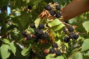 Cómo secar las hojas de té para Blackberry