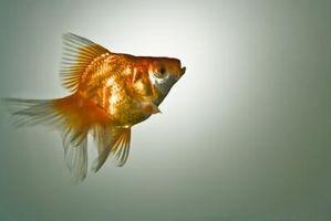 Cómo saber la diferencia entre un macho y una hembra Goldfish