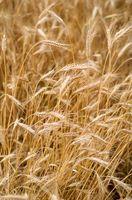 Diferencias entre grano entero de trigo y salvado de trigo