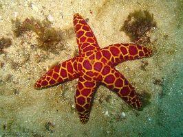 El ciclo de vida de una estrella de mar