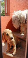 Medicina pulgas causa de las convulsiones en los perros
